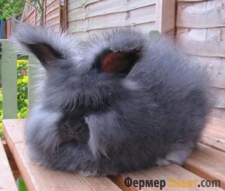 Темный ангорский кроль
