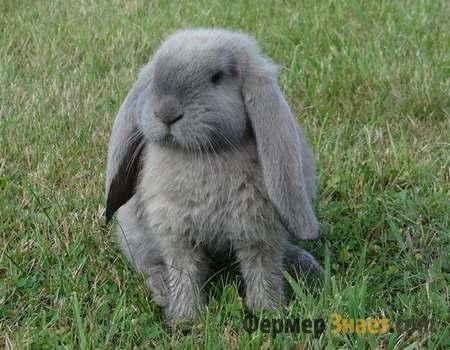 Кролик маленький баран