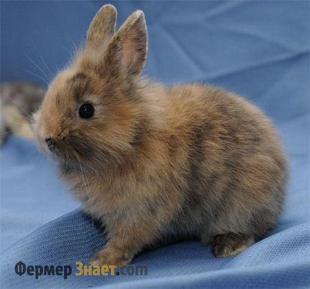 Кролик серый, декоративный
