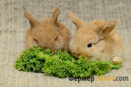 Декоративные кролики едят салат