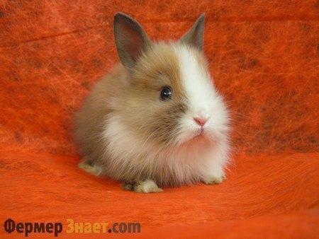 Красивый карликовый кролик