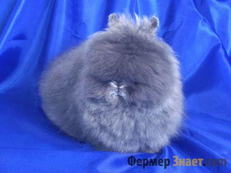 Карликовые кролики: породы, как выбрать, уход в домашних условиях