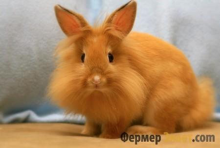 Львиный карликовый кролики