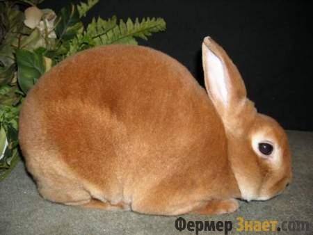 Небольшой кролик породы рекс