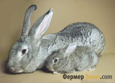Шиншилловая крольчиха с крольчонком