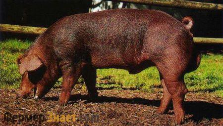 Свинья дюрок