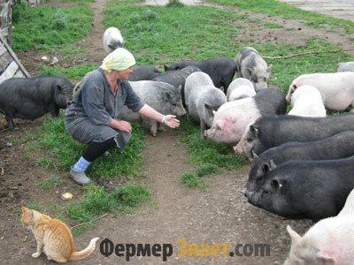 Домашнее разведение свиней