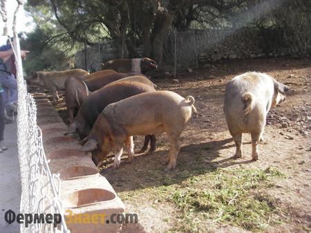 Свиньи пасутся