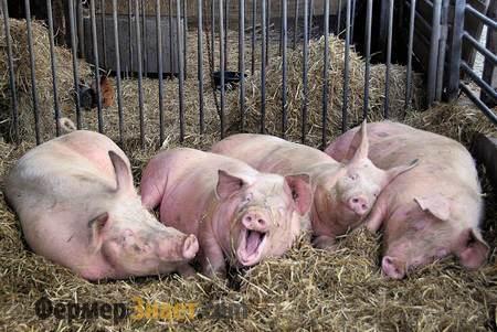 Выращивание свиней дома