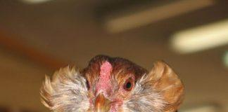 Курица породы Араукана
