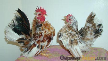 Курица и петух бентамки