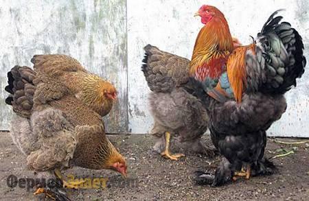 Петух и курицы породы Брама