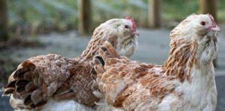 Две курицы Фавероль
