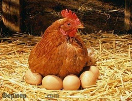 Курица на яйцах