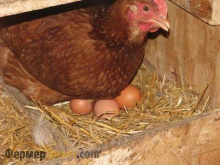 Курица снесла яйца