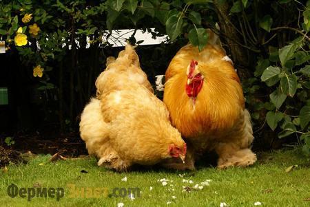 Петух и курица Орпингтон