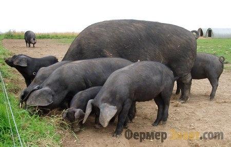Крупная чёрная порода свиней
