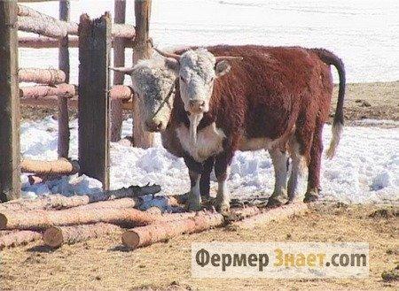 Содержание скота герефордской породы зимой