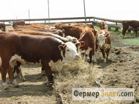 Скот мясной породы