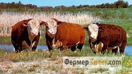 Быки мясных пород