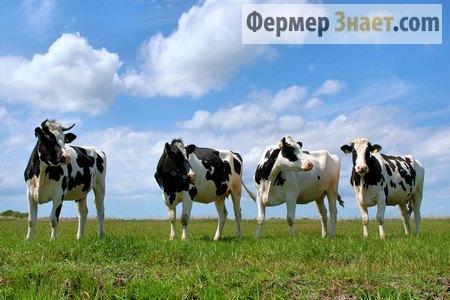 Беспривязное выпасание коров