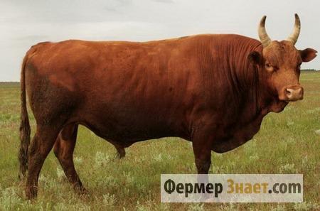 Калмыцкий бык