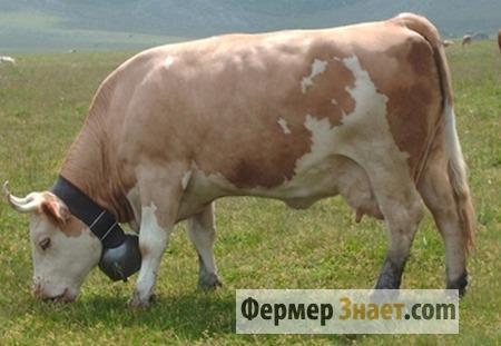 Корова симментальской породы