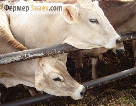 Содержание коров в теплое время