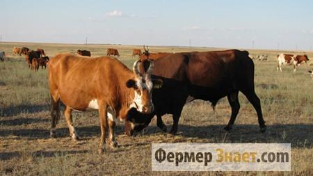 Корова и бык кальмыцкой породы