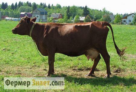 Корова красногорбатовской породы