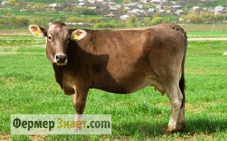 Молодая корова