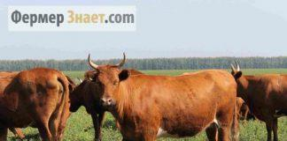 Коровы кальмыцкой породы