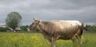 Корова костромской породы