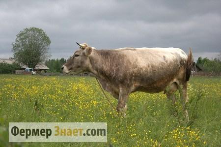 Костромская порода коров: особенности содержания и разведения