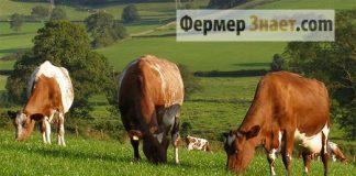 Коровы молочного направления