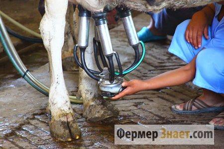 Дойка коровы аппаратом