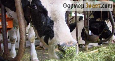Кормление коров зелеными кормами
