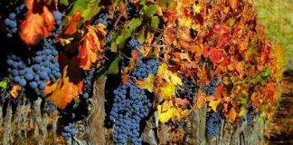 Виноградник осенью
