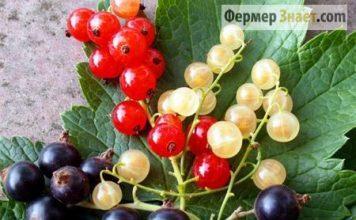 Плоды смородины