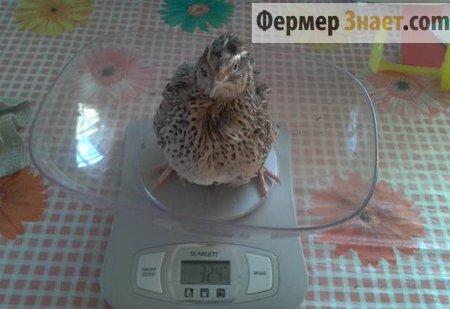 Вес взрослой перепелки