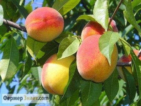 Плоды персика