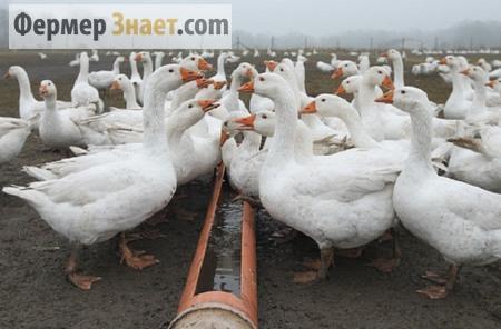 Поильник для гусей
