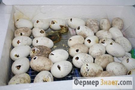 Новорожденное гуся