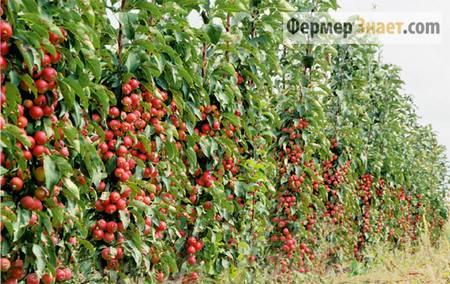 Сад колоновидных яблонь