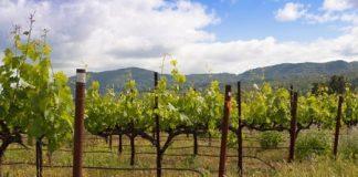 Виноградник весной