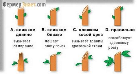 Схема правильной обрезки дерева