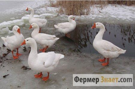 Линдовские гуси у пруда