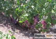 Виноградник летом
