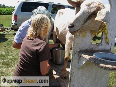 Дойка козы при помощи станка