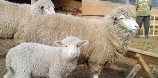 Северокавказкая порода овец